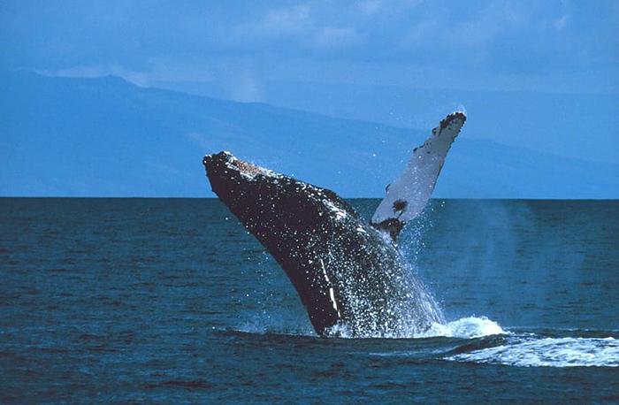 Avistamiento de ballena jorobada
