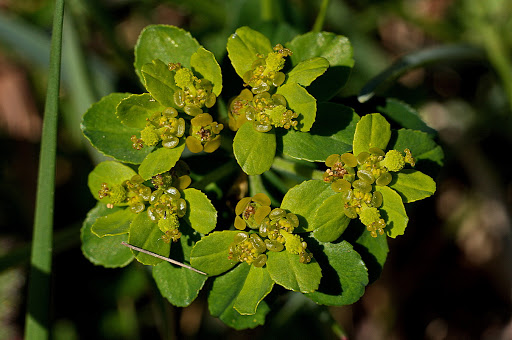 Euphorbia flavicoma occidentalis