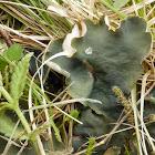 Greater Toad Pelt Lichen