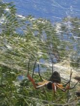 Photo: Araña flotante en su tela, La Paz (Entre Ríos, marzo 2010)