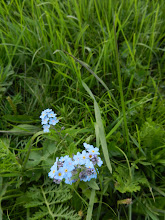 Photo: My favorite flower: Forget-Me-Nots.