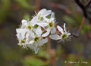 Photo: Shadbush (Amelanchier sp.), 5.3.11