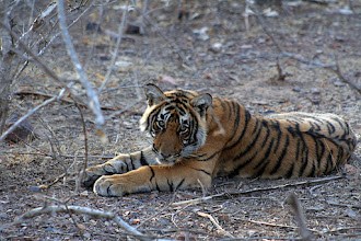 Photo: What wonderful eyes - the Emblem of India - the Tiger
