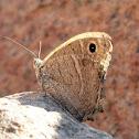 Desert Grayling