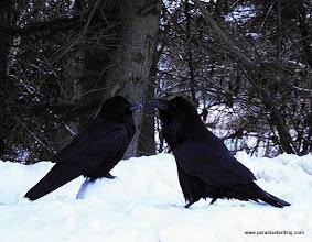 Photo: Ravens scavenging along the roadside in suburban Homer, AK