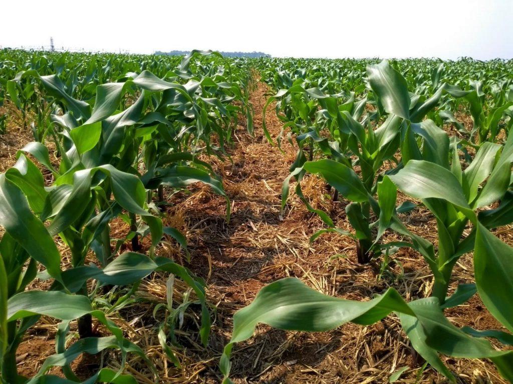 Entendendo sobre a irrigação no milho - foto lavoura de milho