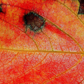 Fallen  Persimmon leaf  by Marko Lengar - Nature Up Close Leaves & Grasses ( fall, leaves, fallen leaves, leaf, colors,  )