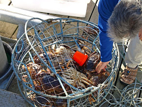 Photo: Dungeness Crabs