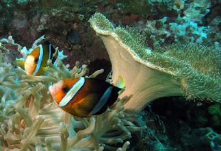 Photo: Грибовидный кожистый коралл Sarcophyton sp.