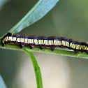 Brown-bordered Owlet Caterpillar