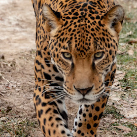 Jaguar  by Margie Troyer - Animals Lions, Tigers & Big Cats