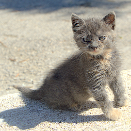 by John Meadows - Animals - Cats Kittens (  )