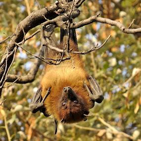 My whole world got inverted...... by Akbar Ali Asif - Animals Other Mammals ( mammals, pakistan, flying fox bat, islamabad, red eyes, flying mammals, large bats, bat hanging from tree, bat, eyes )
