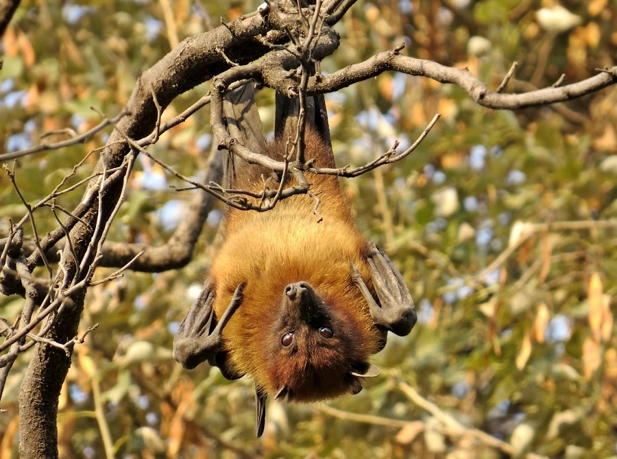 My whole world got inverted...... by Akbar Ali Asif - Animals Other Mammals ( mammals, pakistan, flying fox bat, islamabad, red eyes, flying mammals, large bats, bat hanging from tree, bat, eyes )