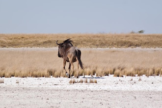 Photo: Black wildebeest in Makgadikgadi NP /