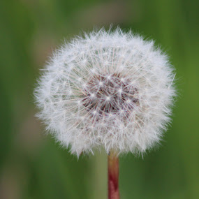 Dandelion Fluff #1 by Rose McAllister - Nature Up Close Other plants ( dandelion_fluff_white_weed_green,  )