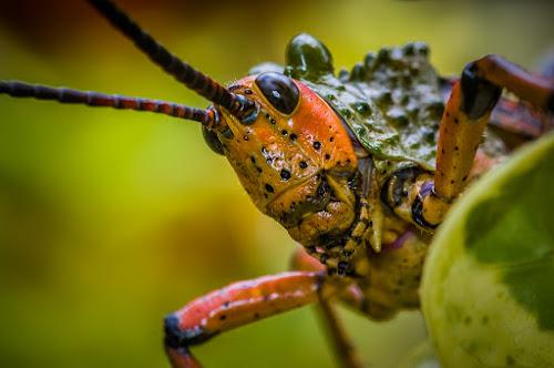 Milkweed locust by Joggie van Staden - Animals Insects & Spiders ( naure up close, macro, locust, milkweed locust, insect, close up, animal )