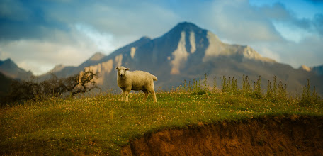 Photo: Another friendly sheep here in New Zealand… checkin' me out on my way home... :)
