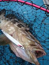 Photo: やっぱし! 超高級魚キャッチ! ヒットジグは、セカンドステージのヤイバ!