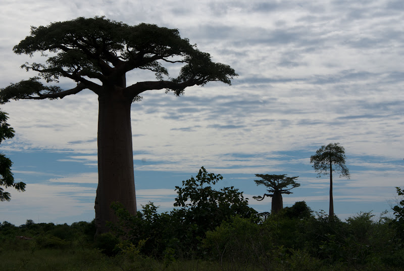 Photo: Baobabs