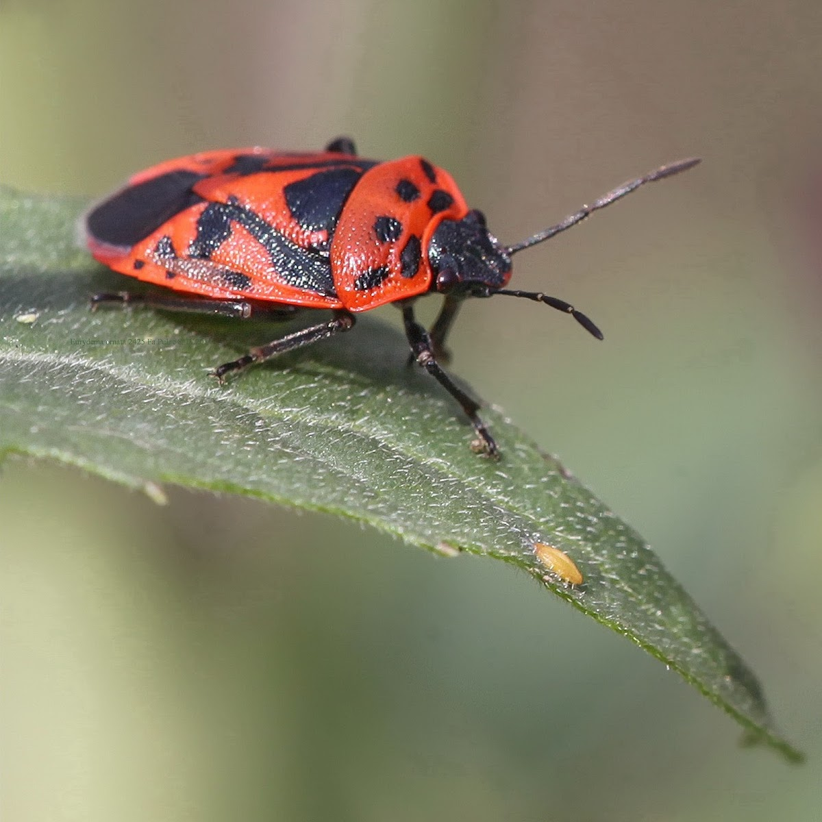 Red Cabbage Bug