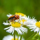 Clay-colored Leaf Beetle