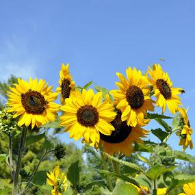 sunflowers by Jean-Pierre Machet - Flowers Flowers in the Wild ( sunflowers, flowers, bees on flowers,  )