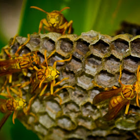 Wasp and it's hive by Sudipta Mallick - Nature Up Close Hives & Nests ( hive, wasp, nature, nest, swarm )