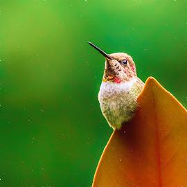 Living on the Edge by Briand Sanderson - Digital Art Animals ( bird, perched, hummingbird, digital art, anna's hummingbird, magnolia leaf, magnolia, animal )