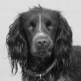 Revel by Chrissie Barrow - Black & White Animals ( monochrome, black and white, pet, ears, fur, wet, dog, nose, mono, eyes, animal )