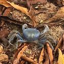 cangrejo azul terrestre