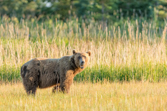 Photo: Bear in the grass