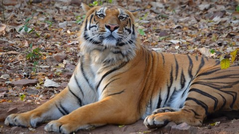Tigres en Región Central India