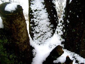 Photo: Öreg fatörzs télen