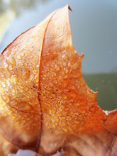 Photo: Dew on a curving leaf floating in a lake at Eastwood Park in Dayton, Ohio.