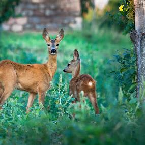 deer in the vineyard by Thomas Berwein - Animals Other Mammals