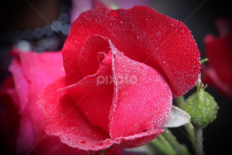 Java Rose  by DODY KUSUMA  - Nature Up Close Flowers - 2011-2013