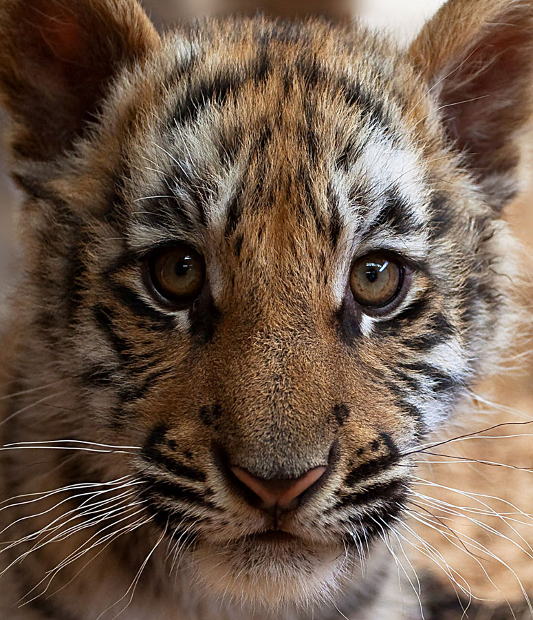 Endangered by Pam Wood - Animals Other Mammals ( tiger, endangered, baby, bengal, cub, animal )