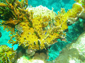 Photo: Fire Coral