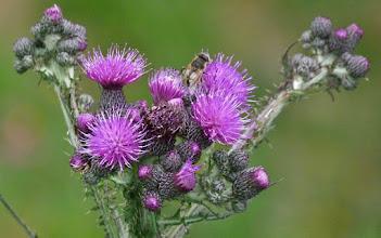 Photo: Gemeine Prachtdiestel (Cirsium vulgare)