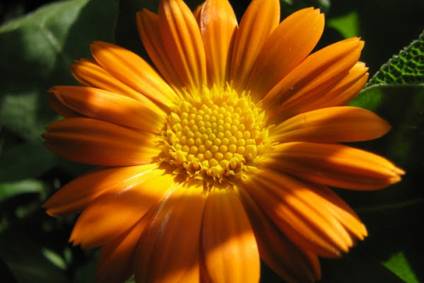 Sole in fiore di Bellaventu