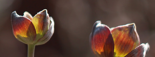 Photo: Incipient dogwood blooms in the sun