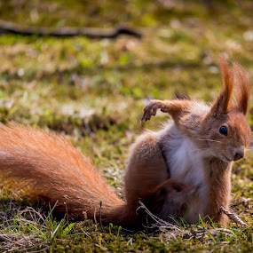 Squirrel by Adrian Ioan Ciulea - Animals Other Mammals ( park, grass, fur, cute, squirrel, animal,  )