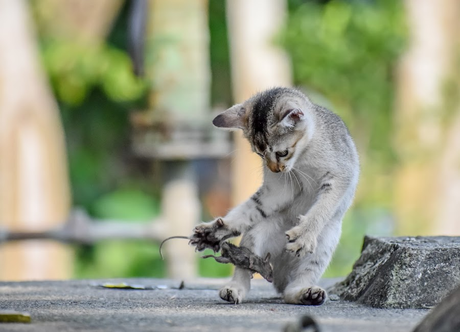 Ohh No! Lost It. by Nayan Jyoti Kalita - Animals - Cats Playing ( nature, cat, asia, animal, hunting, hunter, wild, wildlife,  )