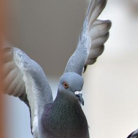 Pigeon about to land  by Basant Malviya - Uncategorized All Uncategorized ( bigeon, birds,  )