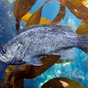 Kelp Rockfish