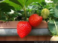 莓圃庭園咖啡
