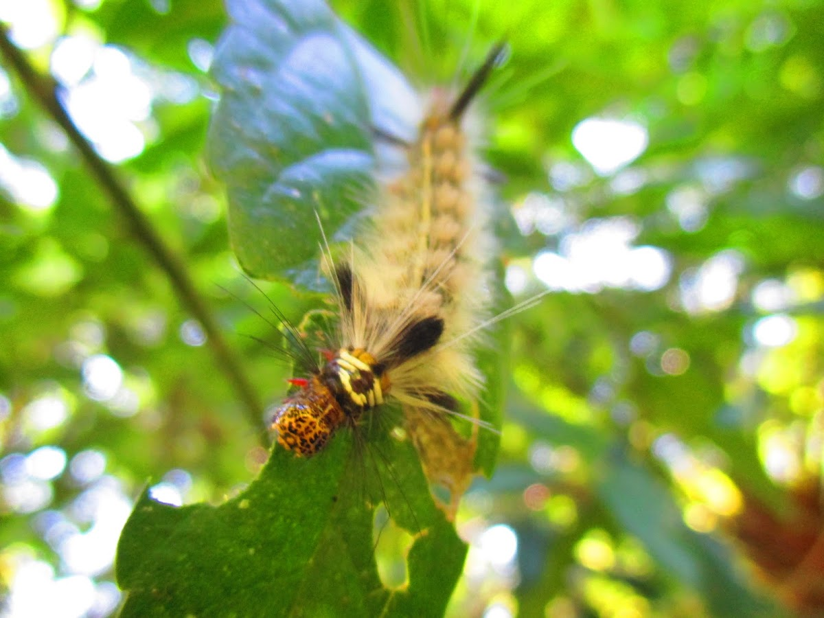 Astur Moth caterpillar