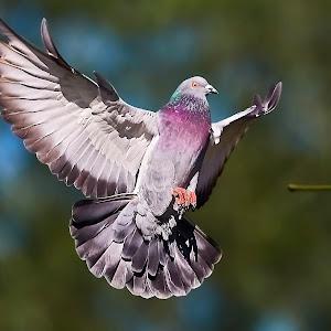 00 Pigeon 99838~.jpg