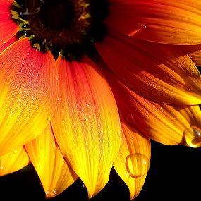 Yellow orange by Manuela Dedić - Nature Up Close Flowers - 2011-2013 ( orange, yellow, garden, gerber, flower, , color, colors, landscape, portrait, object, filter forge )